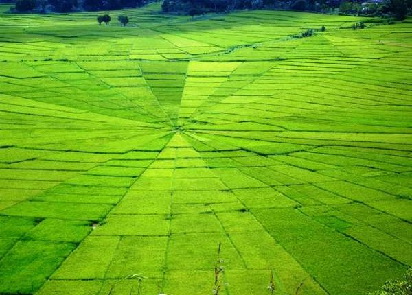 spederweb RIce FIeld