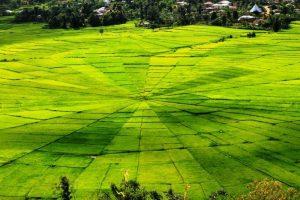 spiderweb Rice field On flores
