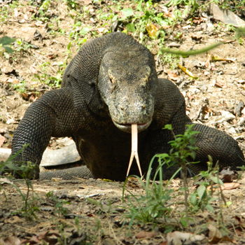 Komodo On Rinca island