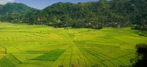 cancar rice field