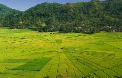 cancar rice field
